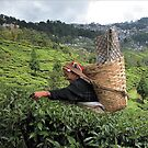 India - Darjeeling दार्जिलिंग - Tea garden by Thierry Beauvir