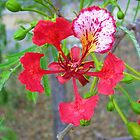 Poinciana Flower by Virginia McGowan