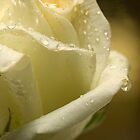 white rose 5 by FotosdaMau