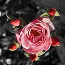 Rose and buds colour Selective blur by davesphotographics