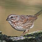 Song Sparrow by tomryan