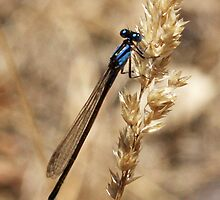 damsel fly by beekeeper