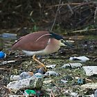 Nankeen Night Heron by Russell Spence