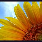 Sunflower in the sun by angellynnhill