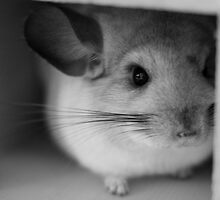 Cute Chinchilla Calendar by Claire Tennant