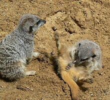 meerkat 1 by trucker29er