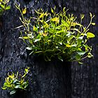 New growth in Toolangi by Neville Jones