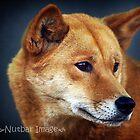 Dingo by Talisencat