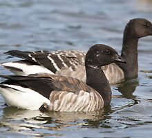 Two Brant Geese by DigitallyStill