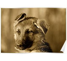 German Shepherd Puppy III Poster