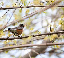 Robin in Spring by Steven David Johnson