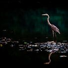 Great Blue Heron, Shenandoah River, North Fork by Steven David Johnson