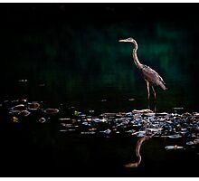 Great Blue Heron, Shenandoah River, North Fork Photographic Print