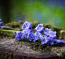 Scottish Bluebells by StuartStevenson