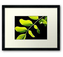 Acacia #3 Framed Print