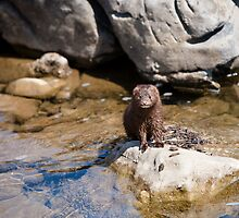 Mink, Shenandoah River, North Fork by Steven David Johnson