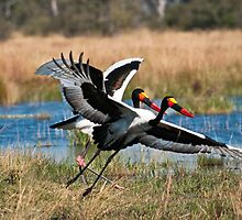 Saddle Billed Storks | Kwando River by Olwen Evans