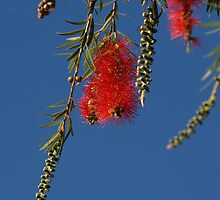 Bottle Brush - Outback - Australia by Anthony Wilson