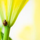 Yellow Ladybird by Kingston  Liu