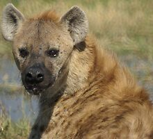Hyena, Botswana by Neville Jones