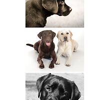 Those Crazy Labradors by kristinagav