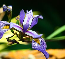 Iris at the Everglades Leura by Ann Marie  Barnes