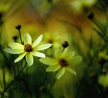 moonbeam coreopsis by Rachel  McKinnie