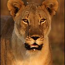 Southern Lioness by Leon Rossouw