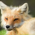 Foxy  by DebYoung