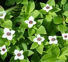 ALASKA WILD DOGWOOD by JOHN J. SWEENEY