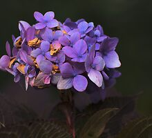 Violet with shallow dof by Dennis Rubin IPA