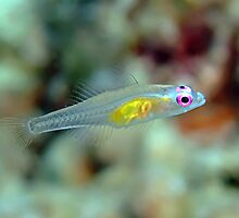Pink eye goby by lilithlita