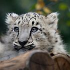 Baby Snow Leopard VI by Daniela Pintimalli