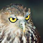 Australian Barking Owl by Christopher Cole