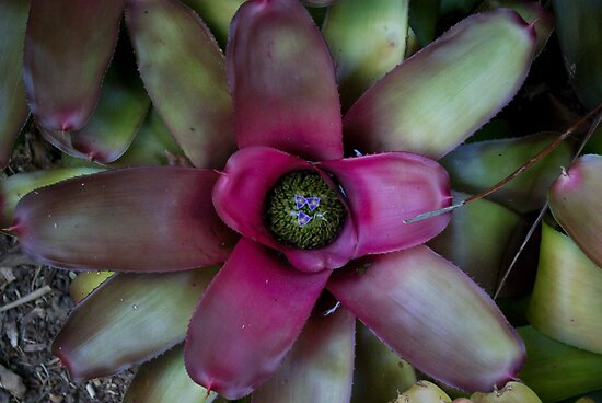 Magenta-Green Flowering Bromeliad by Kerryn Madsen-Pietsch