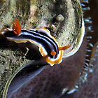 Magnificent Nudi by gardenofbeeden