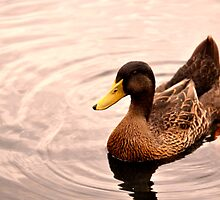 Duck by Justin Showell