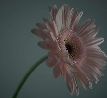 Lonely Gerbera by Nikki Tilbrook
