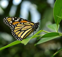 monarch butterfly at rest by Mel Alexander