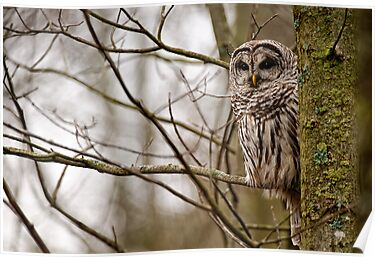 Barred Owl - Presqu'ile Park by Michael Cummings