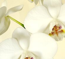 White Orchid by Marc Caryl