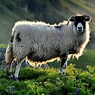 Sheep at Torrhead - County Antrim by Andrew Gilmore