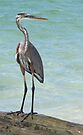 Heron at Stump Pass (Florida, USA) by Kim McClain Gregal