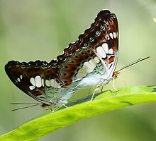 Indonesia 9 - Balinese Butterfly's by Normf