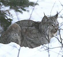 """  Laid Back Lynx  "" by fortner"