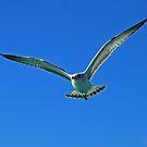Laughing Gull by Robert Abraham