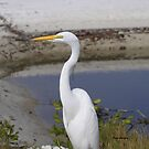 Great Egret by Dennis Cheeseman