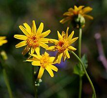 Wild daisies by Jodi Morgan