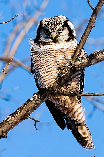 Northern Hawk Owl, Ottawa, Canada by Michael Cummings