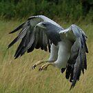 Hawk by Dave  Butcher